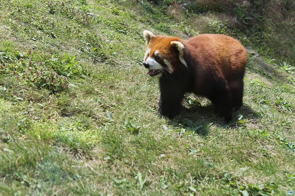 大概四十分钟左右就到了动物园,大门口两个大气球人远远的就能看到了。朵朵迫不及待的拉着妈妈下车去拍照录像,没进门就兴奋得不得了。门口还偶遇了红太狼和灰太狼,一路走过去看了不少动物,朵朵告诉我她最喜欢的是小熊猫、棕熊还有老虎。到剧场的时候刚好在表演,节目挺精彩的,最后的杂技表演也很炫。老婆和朵朵还跟小丑们一起跳兔子舞,一天下来玩的非常开心,回家的时候才看到门口的水池还有水上漂,可惜下雨了没有玩到,只好下次再带朵朵来金华动物园玩吧。 4月29日
