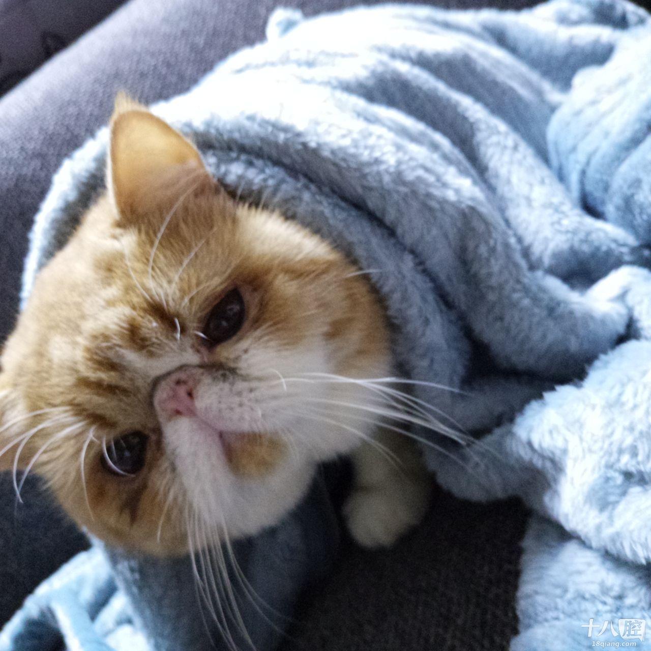 纯种加菲猫,一岁半,想在义乌找一个老婆,有的请请联系