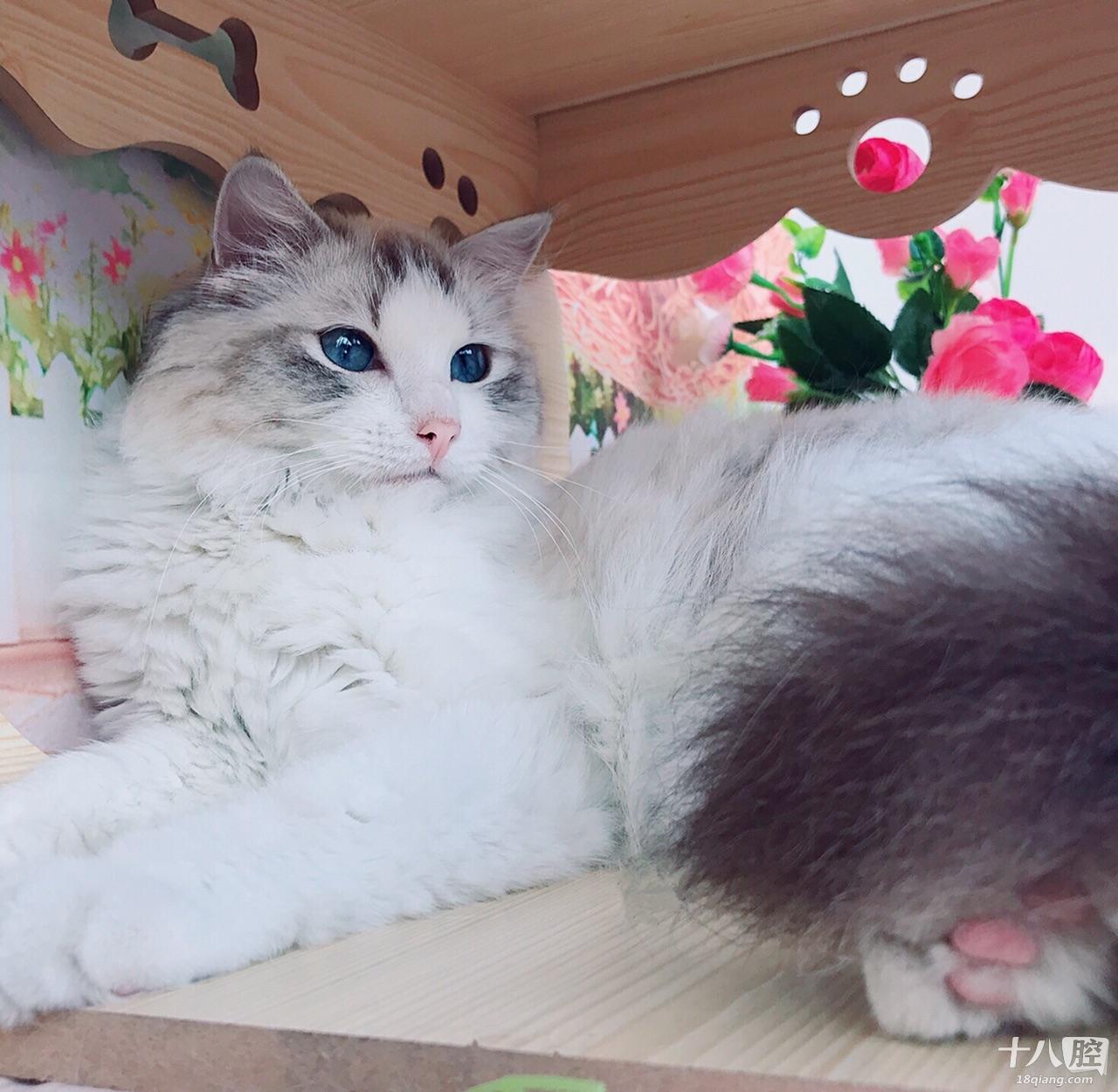 海山双与重点色布偶猫对比
