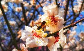 梅花三月喜闹春