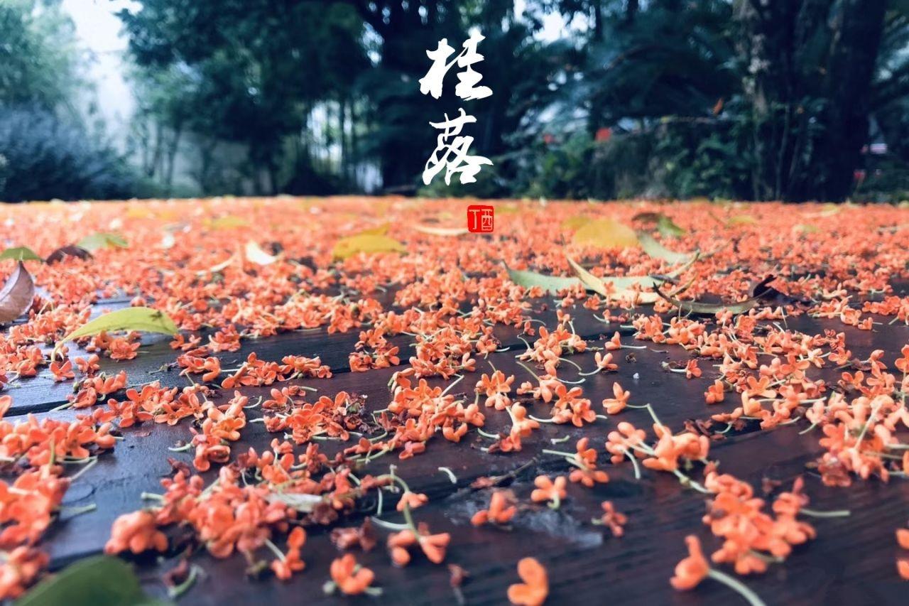 一场秋雨~桂花尽落~一段思念~泪眼朦胧~