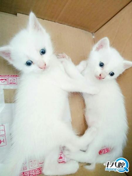 两只白猫出售了|家有宠物