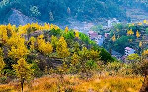 赏千亩黄金银杏林,泡千年火山温泉