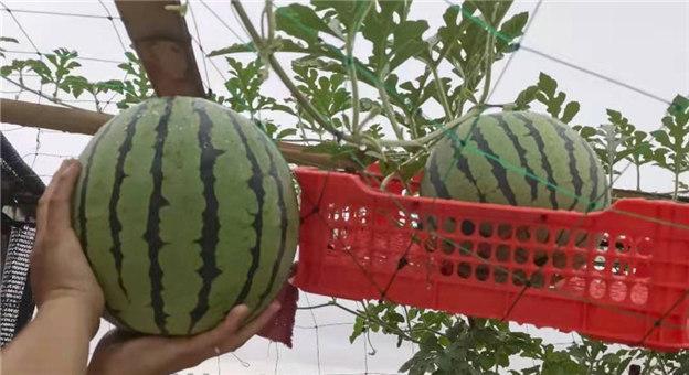 去年的西瓜上了热门,今年家里阳台的西瓜又熟了